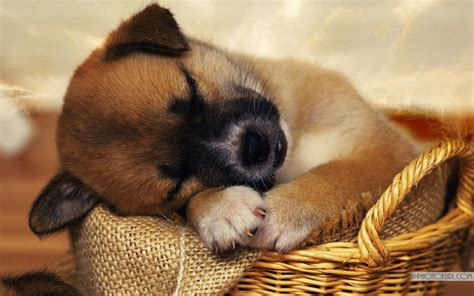 Tired Puppy Sleeping Cute Wallpapers   Free Wallpapers