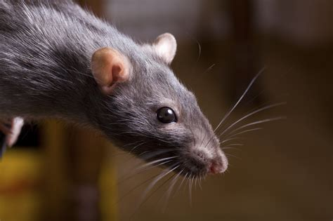 """Are """"Mutant Super Rats"""" Taking Over Western Civilization?"""