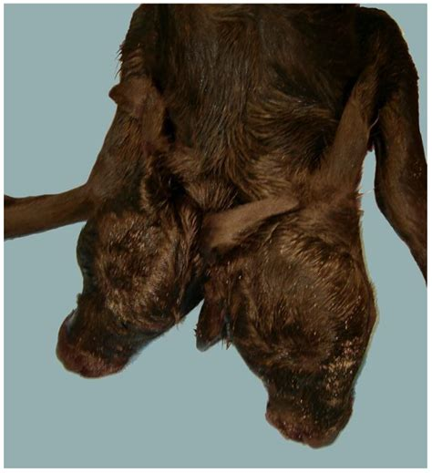 Animals   Free Full-Text   Congenital Malformations in