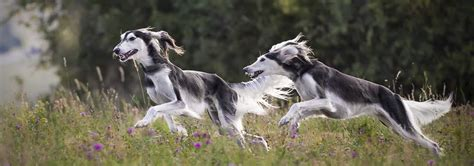 Saluki Dog Breed - Facts and Personality Traits | Hill's Pet