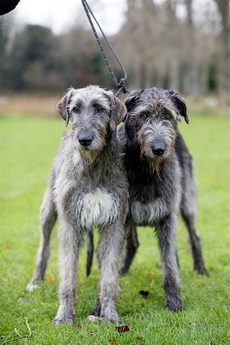 The Irish Wolfhound: Why the archetypal 'gentle giant' was