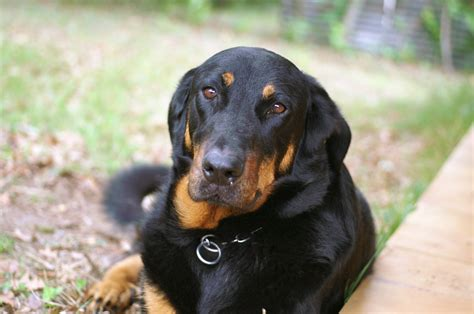 Sad adult Beauceron lying on the grass wallpapers and