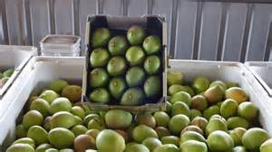 Mango prices slide as Northern Territory sends over