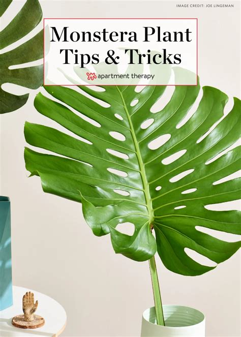 How to Care for the Forever Trendy and Tropical Monstera